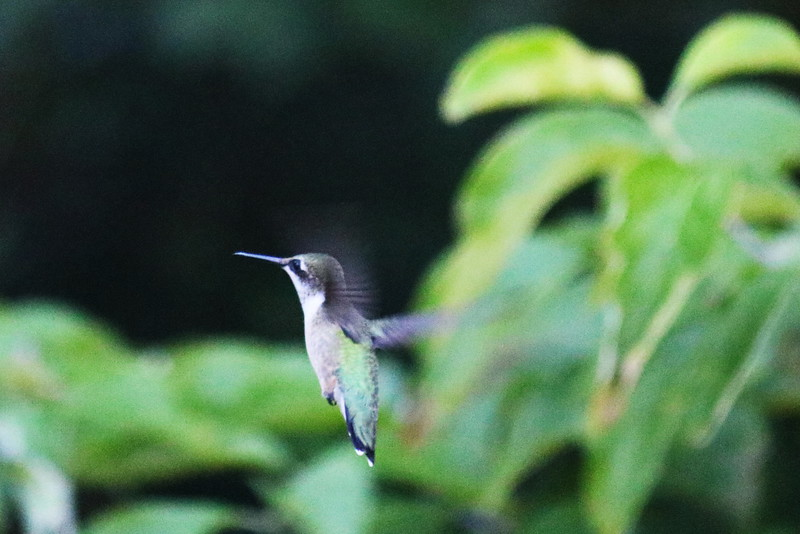 Hummingbird in the Dogwood Tree