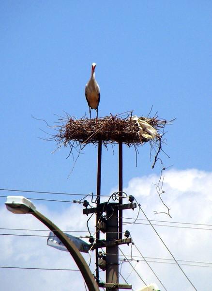 Stork Nesting on a Utility Pole