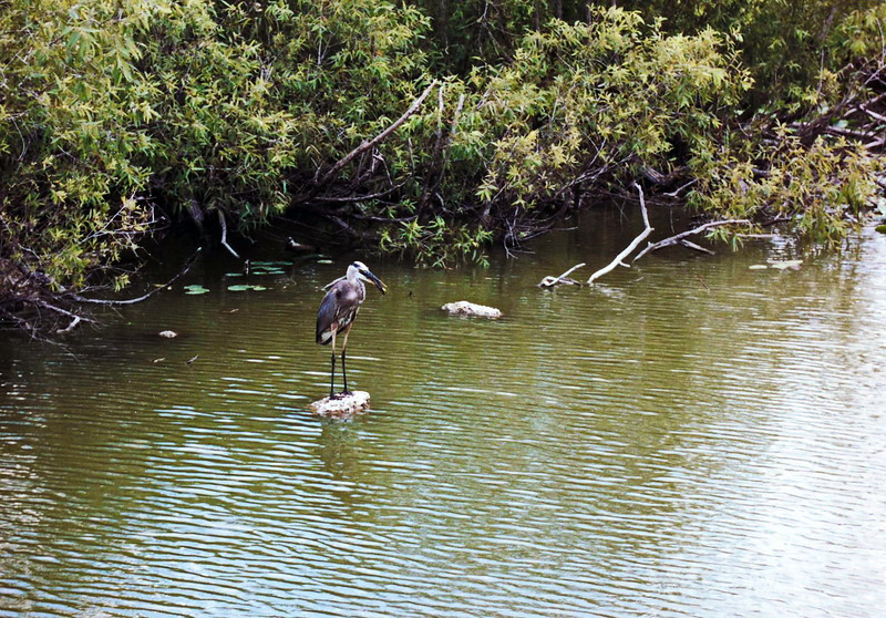 Heron in the Everglades