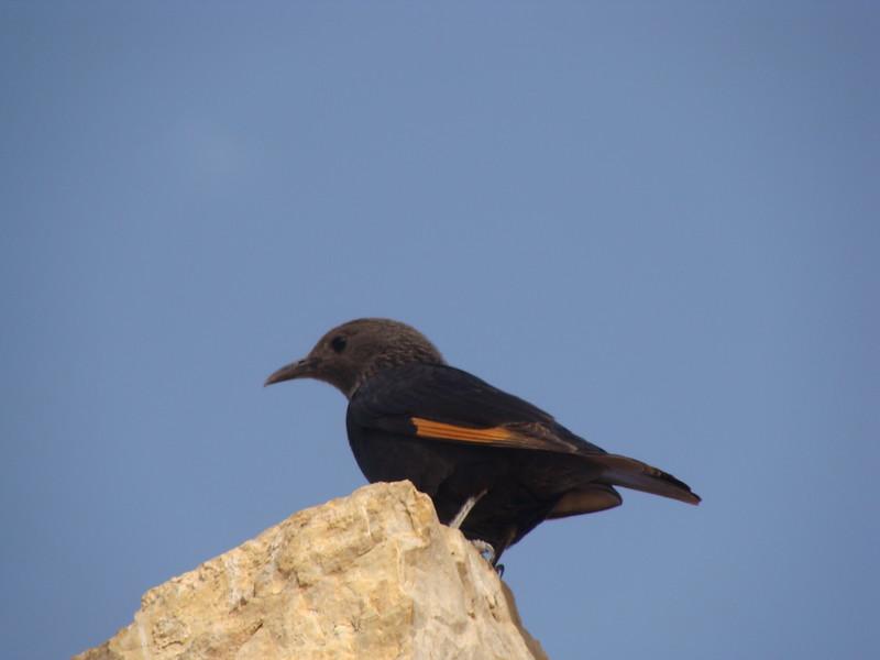 Tristram's Grackle (Starling)