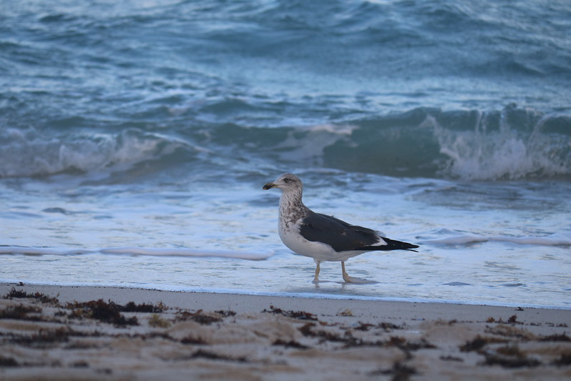 Seagull Wades into the Surf