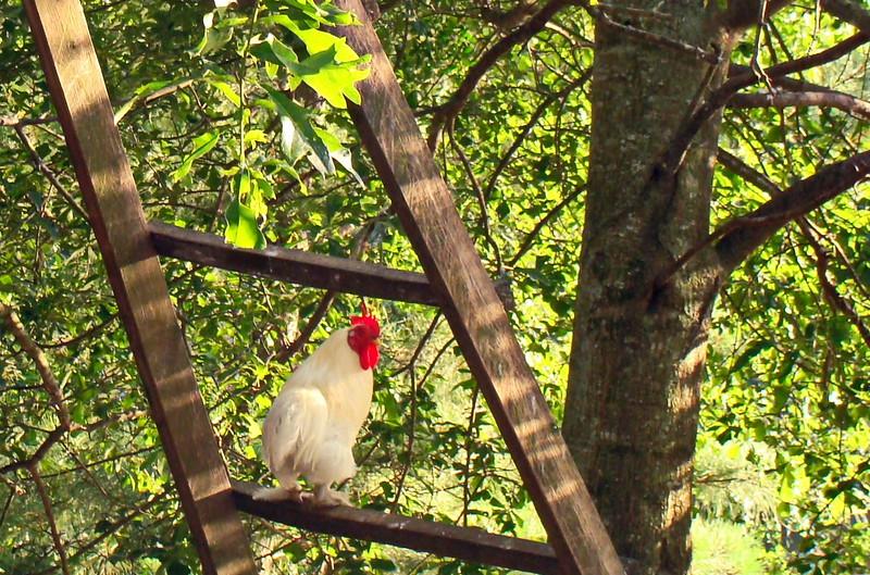 White Chicken on a Ladder
