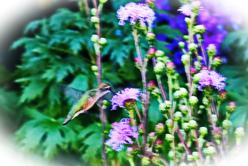 Hummingbird on Liatris in the Garden