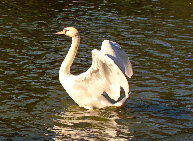 Swan Spreads Its Wings
