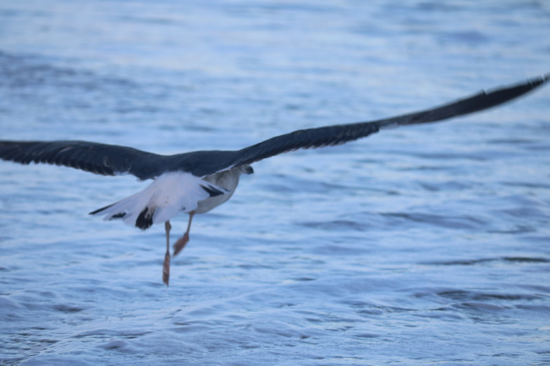 Seagull Readies for a Catch in the Surf