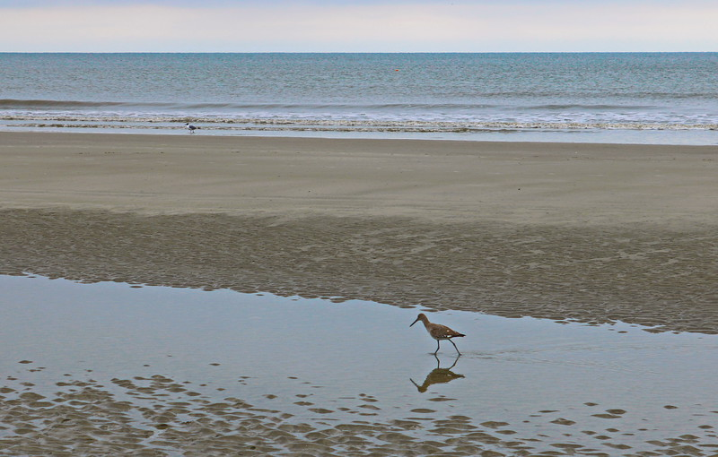 Willet's Reflection