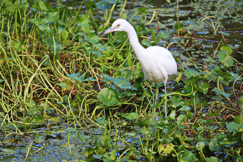 Great Egret in the Marsh
