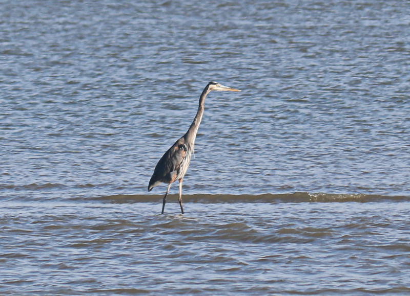 Great Blue Heron on a Sandbank