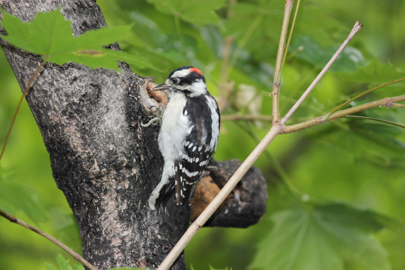 Male Down Woodpecker on a Tree