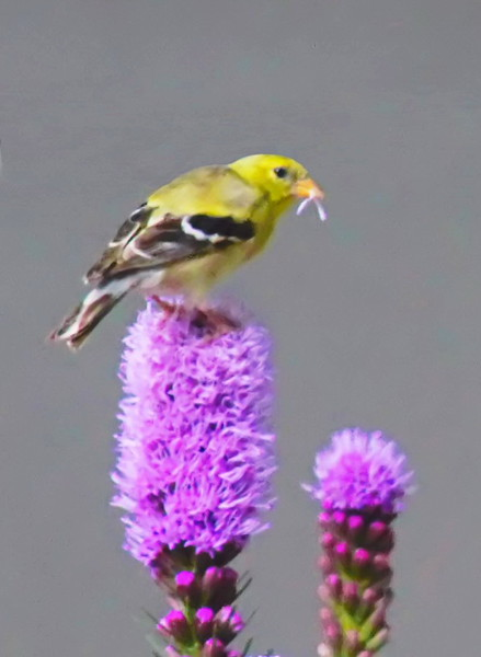 Female Goldfinch with a Liatris Petal