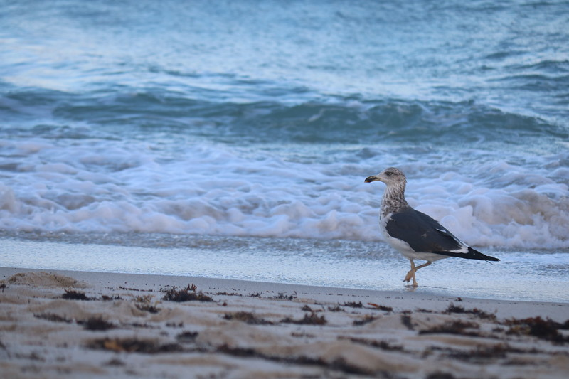 Seagull Dips its Foot into the Surf