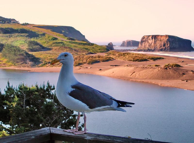 Seagull in Sonoma