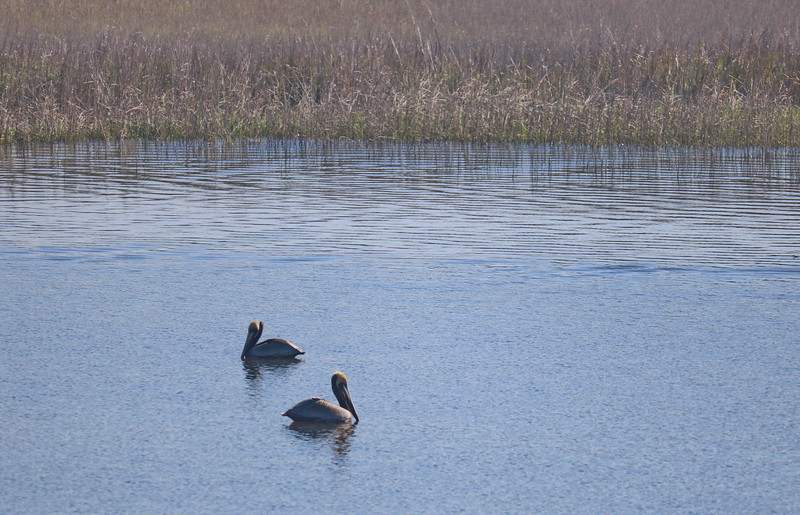 Pelicans near Wetlands
