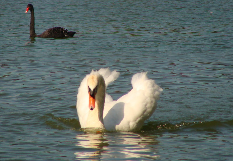 Black and White Mute Swans