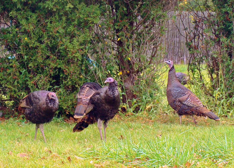Wild Turkeys Visit the Meadowbrook Neighborhood