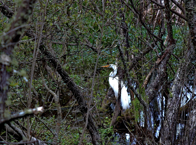 Great Egret in the Woods