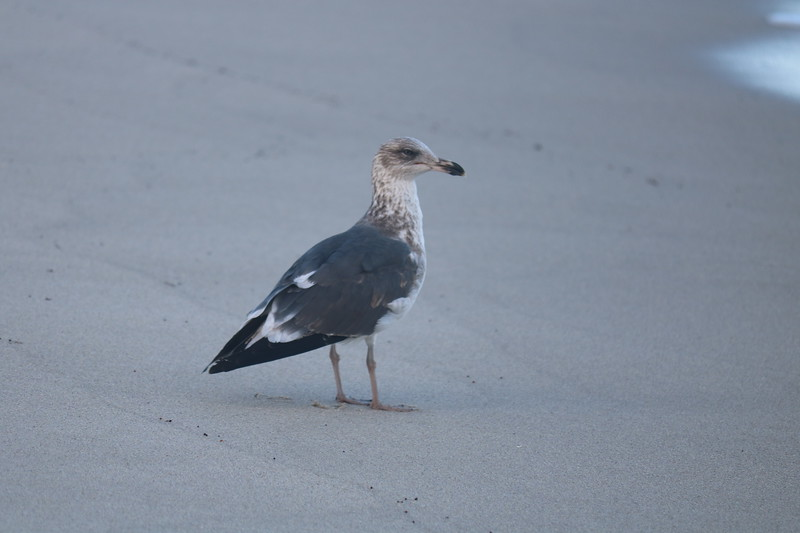 Seagull Poses on the Beach