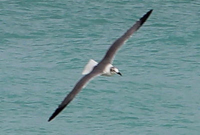 Sandpiper in Flight over the Atlantic Ocean