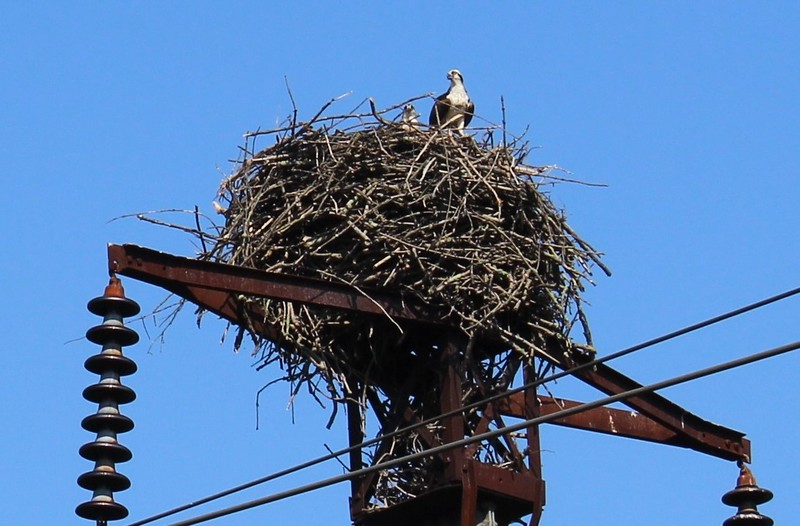Young Osprey in a Nest