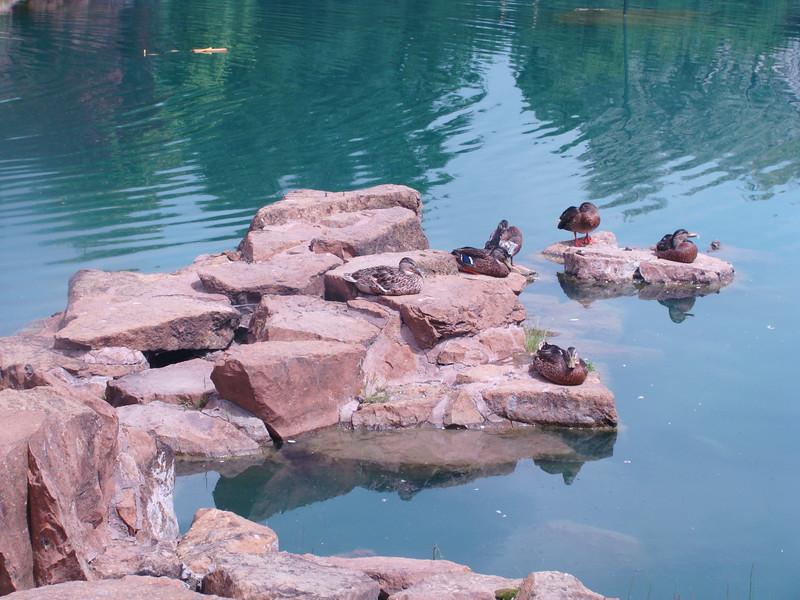 Ducks Sunning on Rocks
