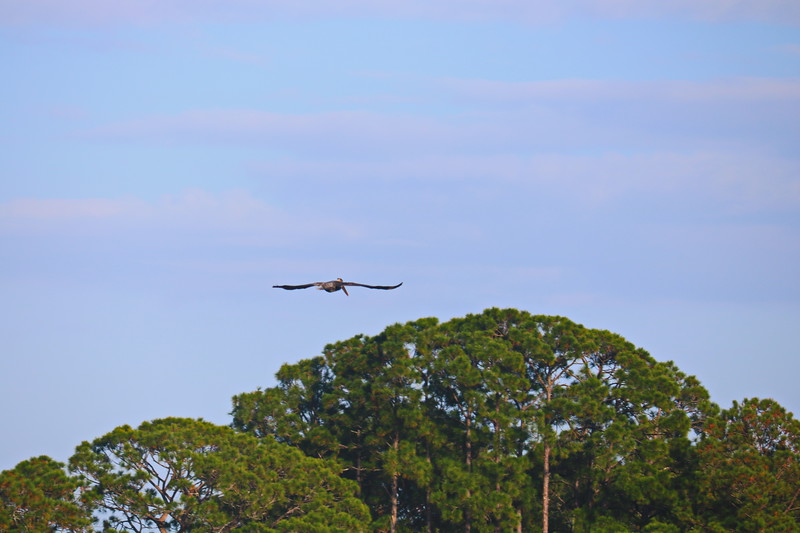 Great Blue Heron Pelican Soars above the Trees