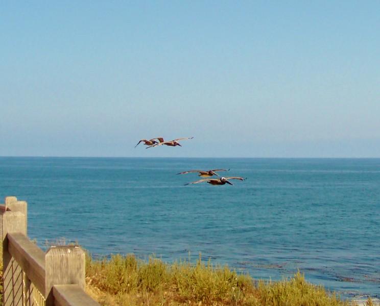 Pacific Pelicans