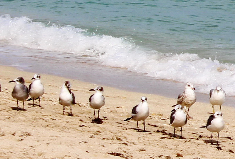 48th Street Beach Sandpipers