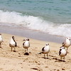 48th Street Beach Sandpipers