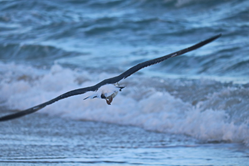 Seagull Soars over the Surf