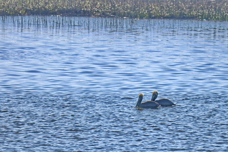 A Pair of Pelicans in the Intracoastal Waterway
