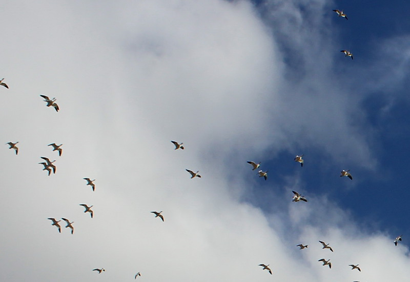 Flock of Snow Geese in Flight