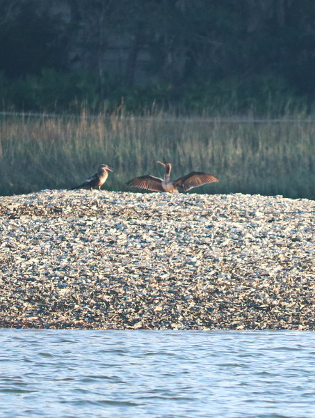 Water Birds Sunning near the Shore