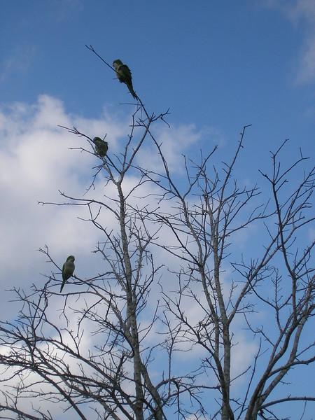 Little Green Parrots