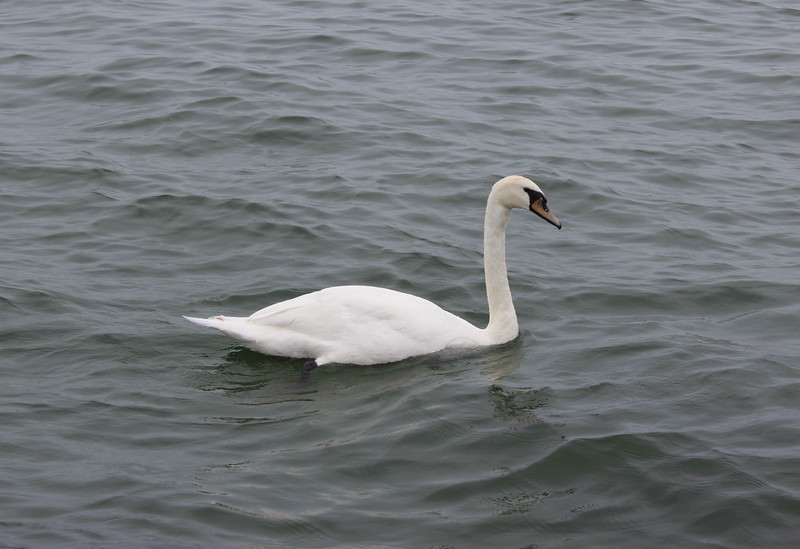 Swan on Lake Ontario