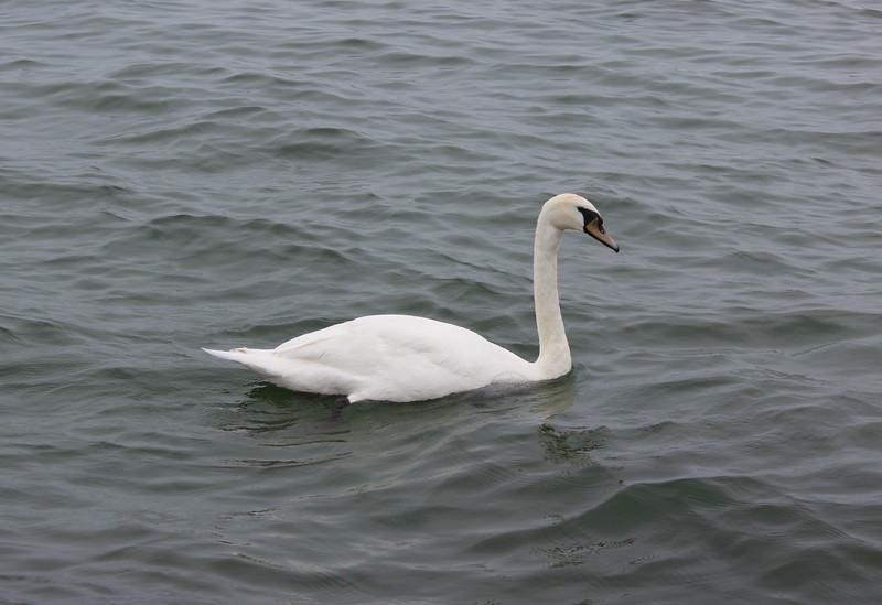 Swan on Lake Ontario