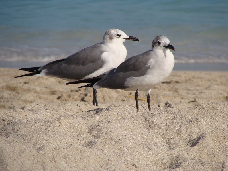 A Pair of Seagulls