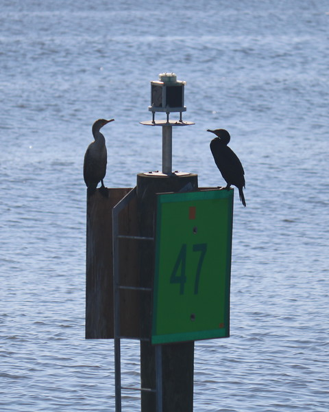 Water Birds Find a Dry Perch