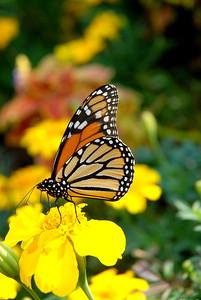 butterfly2363