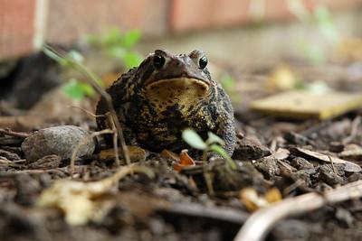 Kenwood Toad-0204