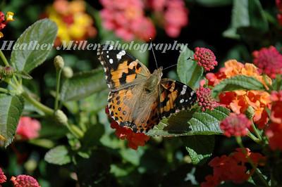 U of I Butterfly0302