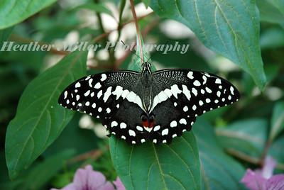 black butterfly1407
