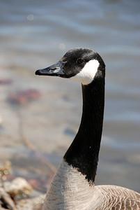 goose1503