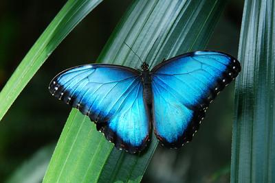 blue butterfly1390