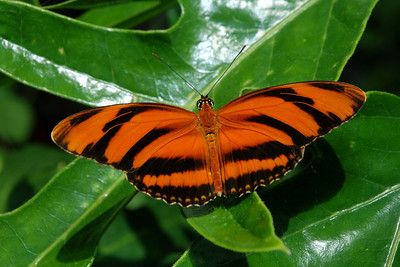 bengel stripe butterfly1365