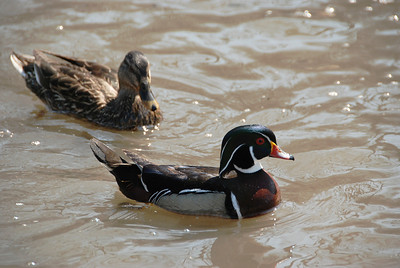 ducks1514