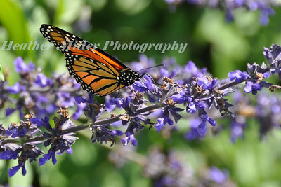 butterfly on salvia0075