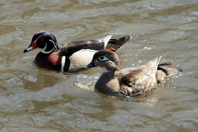 wood ducks1538