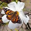 Painted Lady Butterfly on a Cosmos Blossom