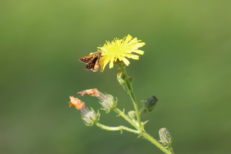 Skipper Butterfly on a Dandelion