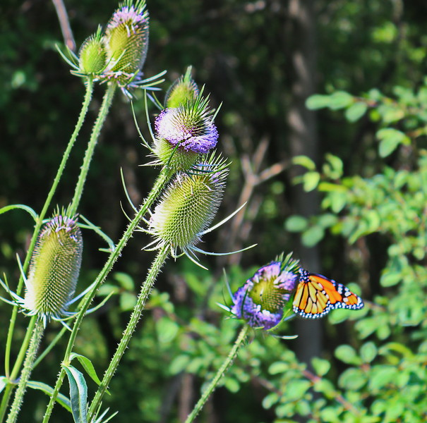 Monarch Butterfly on Thistle at Woods Edge